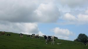 Camelot, cows