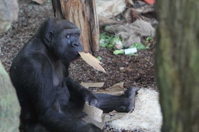 Gorilla at the Lincoln Park Zoo
