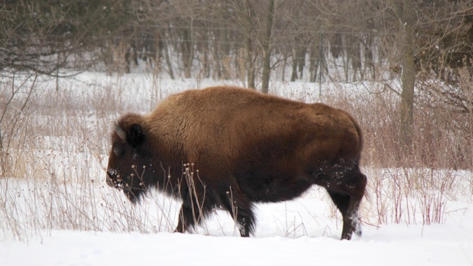 minneola state park bison