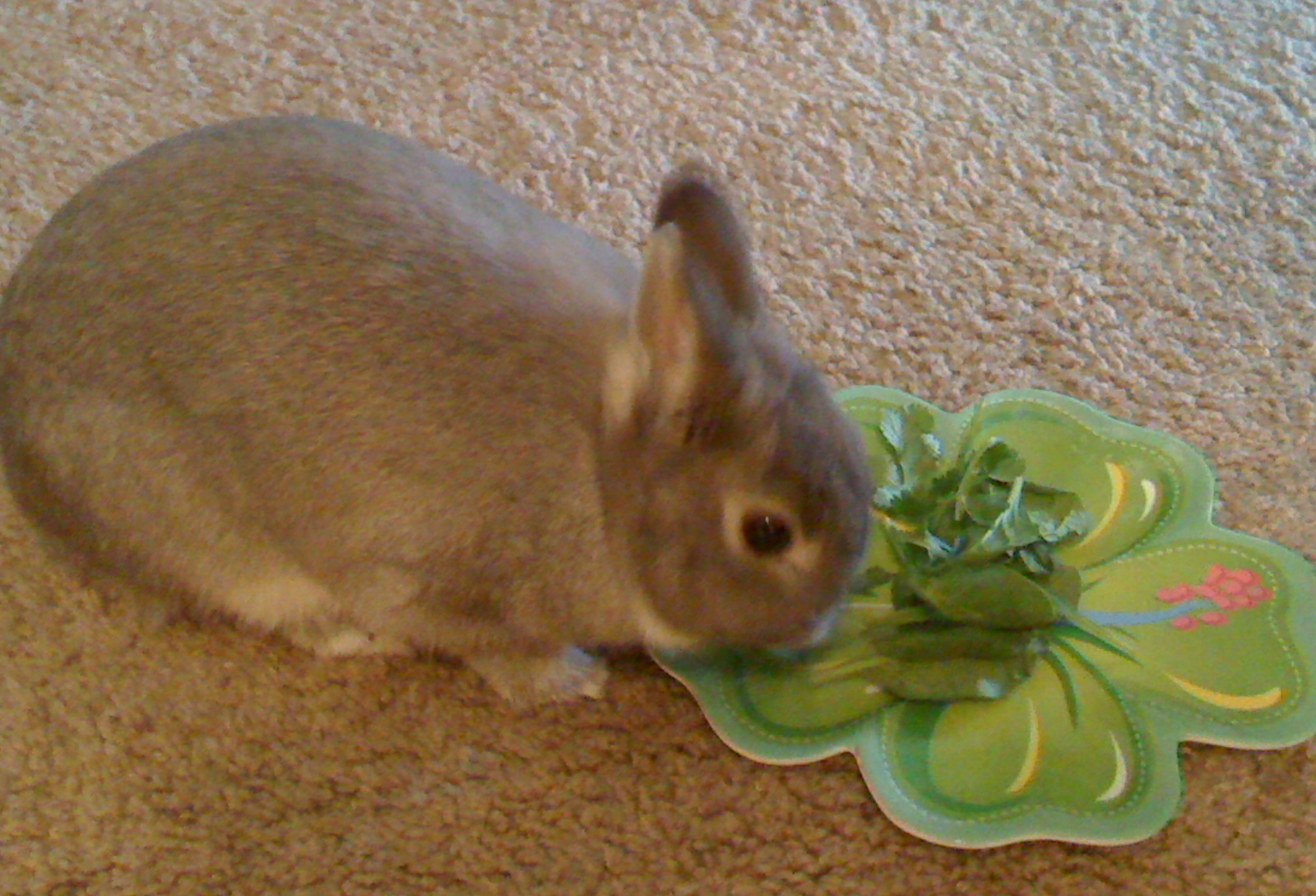 Rabbit eats spinach from plate